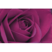 Persian Purple Rose